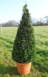 Pair of Buxus sempervirens Topiary Box Pyramids - 31cm Pot