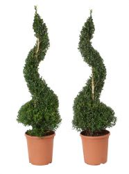 Pair of Buxus sempervirens Topiary Box Spirals
