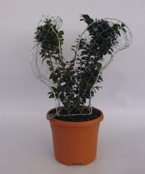 Buxus sempervirens Topiary Box Chicken