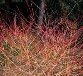 Cornus sanguinea 'Winter Beauty' 40-50cm - 19cm Pot