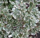 Euonymus fortunei 'Emerald Gaiety' - 3L Pot