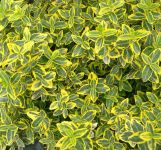 Euonymus fortunei 'Emerald 'n' Gold' 3L Pot