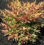 Nandina domestica Magical Sunrise (Sacred Bamboo) 15-25cm, 19cm pot