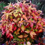 Nandina domestica Fire Power (Heavenly Bamboo) 20-30cm, 19cm pot