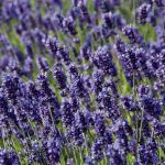 10 x Lavandula angustifolia (English Lavender) - 12cm Pot