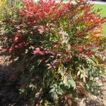 Nandina domestica Summer Sunset (Sacred Bamboo) 15-25cm, 19cm pot