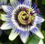 Passiflora caerulea (Passion Flower) 40-55cm, 15cm pot
