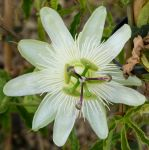 Passiflora caerulea Constance Elliot (Passion Flower) 40-55cm, 15cm pot