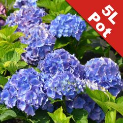 Hydrangea 'Everbloom Blue Wonder' - 5L Pot [Cut Back]