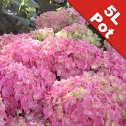 Hydrangea 'Everbloom Pink Wonder' - 5L Pot [Cut Back]