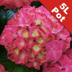 Hydrangea 'Everbloom Red Wonder' - 5L Pot [Cut Back]