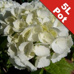 Hydrangea 'Everbloom White Wonder' - 5L Pot [Cut Back]