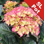 Hydrangea macr. 'Black Diamonds Red Angel' - 5L Pot - Unique Dark Foliage [Cut Back]