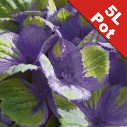 Hydrangea 'Magical Amethyst' - 5L Pot - Colour Changing Hydrangea [Cut Back]