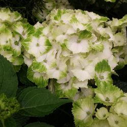 Hydrangea 'Magical Noblesse White' - 5L Pot - Colour Changing Hydrangea [Cut Back]