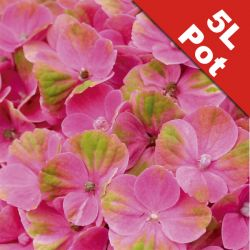 Hydrangea 'Magical Coral' - 5L Pot - Colour Changing Hydrangea [Cut Back]