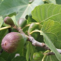 Ficus carica (Common Fig) - 15cm Pot (65cm Tall)