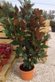 4ft Magnolia grandiflora Gallisoniensis | 25L Pot