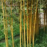 Phyllostachys aurea (Fish-pole Bamboo) 9L pot, 120-150cm tall