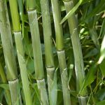 Green Bamboo - 18L Pot Phyllostachys Bissetti