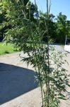 Green Bamboo - 12L Pot Phyllostachys Bissetti
