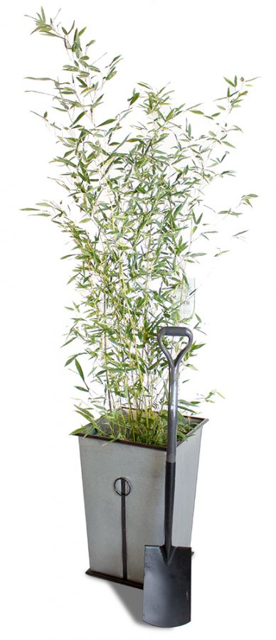 Green Bamboo - 10L Phyllostachys Bissetti