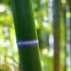 7ft Green Bamboo | 18L Pot | Phyllostachys bissetii