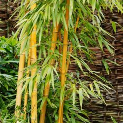 6ft Golden Bamboo | 10L Pot | Phyllostachys aurea