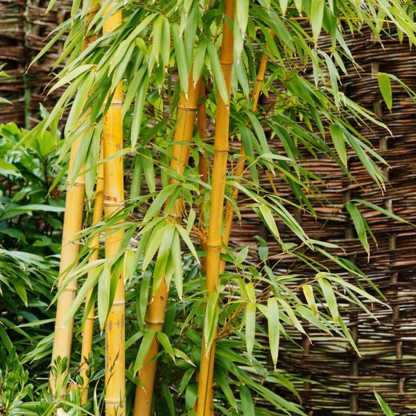 7ft Golden Bamboo| 18L Pot | Phyllostachys aurea