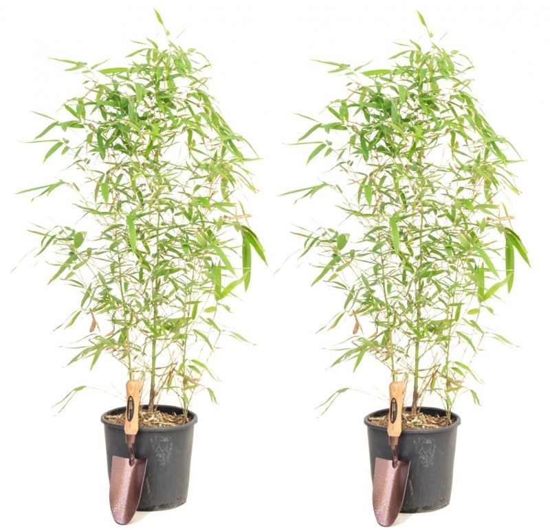 Pair of golden bamboo 39 phyllostachys aurea 39 5l pot for Phyllostachys aurea en pot