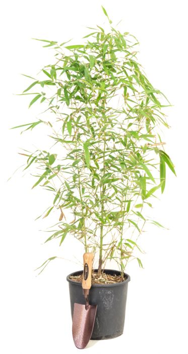 4ft Golden Bamboo | 5L Pot | Phyllostachys aurea