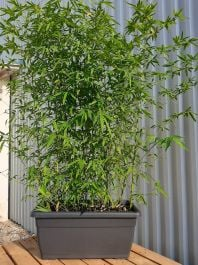 5ft Golden Bamboo in Ornamental Trough Planter | Phyllostachys aurea