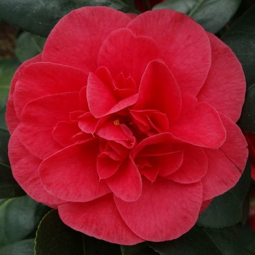 3ft Camellia 'Lady Campbell' | 4L | Camellia japonica