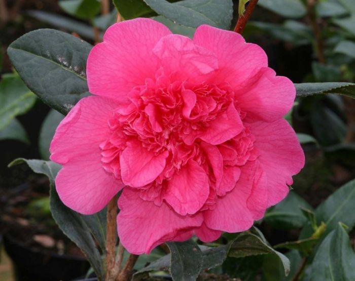 2ft Camellia 'Anticipation' | 4L | Camellia williamsii