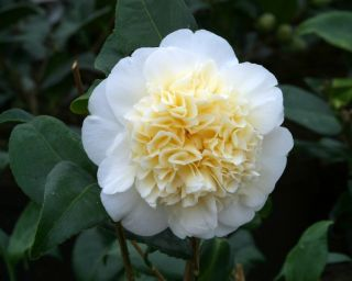 3ft Camellia 'Brushfield's Yellow' | 4L | Camellia japonica