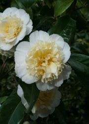 3ft Camellia 'Jury's Yellow' | 4L | Camellia japonica