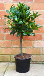 Bay Mini Stem (Laurus nobilis) 60cm