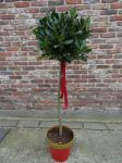 Bay 3/4 Standard (Laurus nobilis) 110cm in Red and Gold Pot with Red Bow