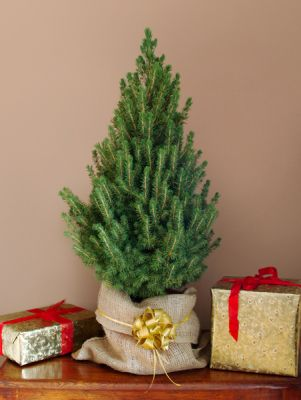 mini christmas tree in red pot picea glauca albertiana conica. Black Bedroom Furniture Sets. Home Design Ideas