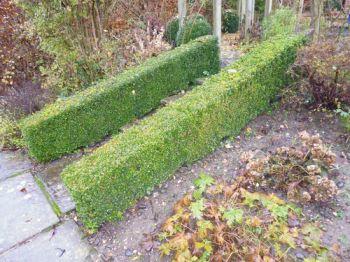 5x Box Hedging - Buxus sempervirens - 30-45cm - Bare-root (Pack of 5 Plants)