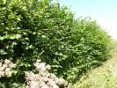 25x Hazel - Corylus avellana - 60-90cm - Bare-root (Pack of 25 Plants)