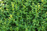5x Oval Leaf Privet Hedging - Ligustrum ovalifolium - 45-60cm - Bare-root (Pack of 5 Plants)