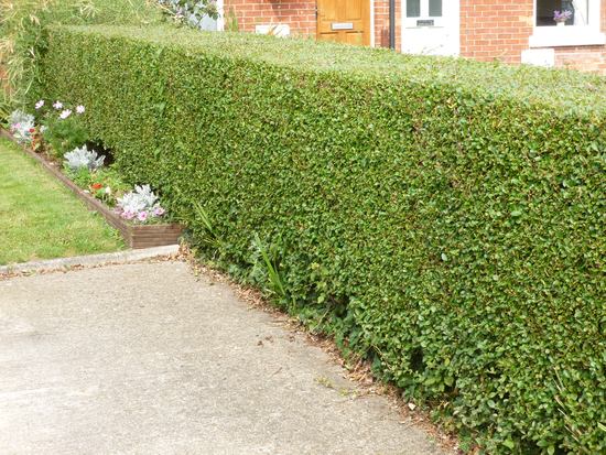 25x Oval Leaf Privet Hedging - Ligustrum ovalifolium - 60-90cm - Bare-root (Pack of 25 Plants)