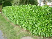 5X Cherry Laurel Hedging 15-20cm P9 'Prunus Laurocerasus Rotundifolia'