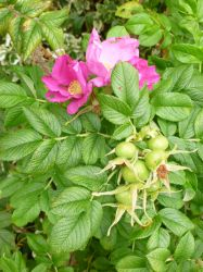 5x Ramanas Rose - Rosa rugosa - 45-60cm - Bare-root (Pack of 5 Plants)