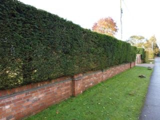 5x English Yew - Taxus baccata - 30-45cm - Bare-root (Pack of 5 Plants)