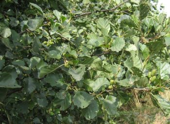 25x Common Alder - Alnus glutinosa - 60-90cm - Bare-root (Pack of 25 Plants)