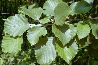 25x Grey Alder - Alnus incana - 60-90cm - Bare-root (Pack of 25 Plants)
