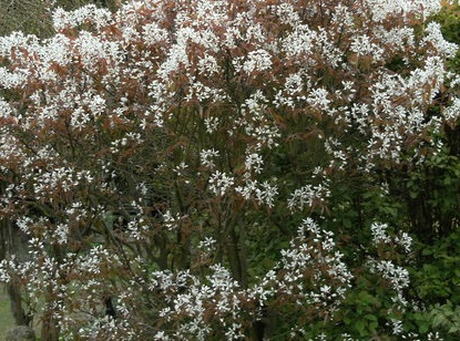5x Snowy Mespulis - Amelanchier canadensis - 45-60cm - Bare-root (Pack of 5 Plants)