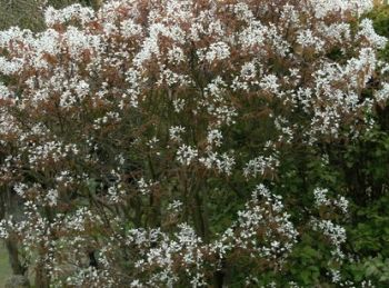 25x Snowy Mespulis - Amelanchier canadensis - 60-90cm - Bare-root (Pack of 25 Plants)